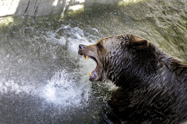 Brown bear refreshes under a stream of cold water during a hot summer day in the zoo in Bratislava.