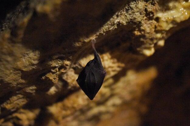 The lesser horseshoe bat in the Driny cave near the village of Smolenice, Trnava Region.