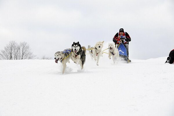 Dogs with a musher in action.