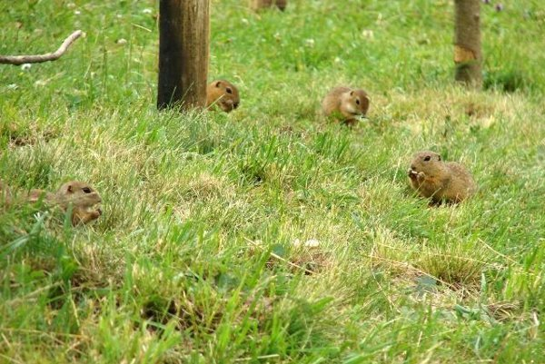 Ground squirrels, or sousliks, at Muránska plane.