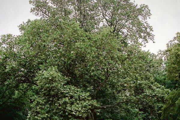 The winning Slovak tree.