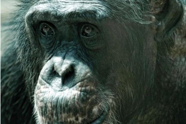 Konzo, the chimpanzee in Bratislava zoo died.