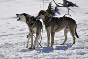 Sled dogs, Eskimo Weekend