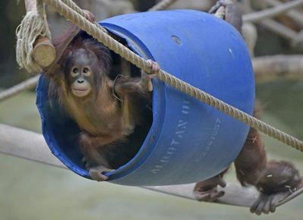 Orangutans, illustrative stock photo