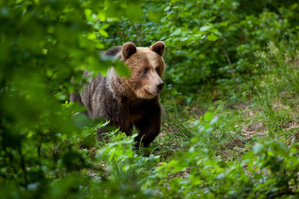 Bears can be observed in the High Tatras National Park