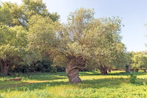 Pollarding was a traditional way of growing willows also in Slovakia.