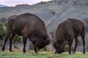The pair of European bisons, Princezná and Cvajan.