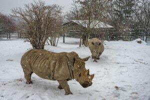 Southern white rhinoceroses Ada and Tootsie