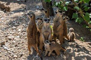 Slender-tailed meerkats.