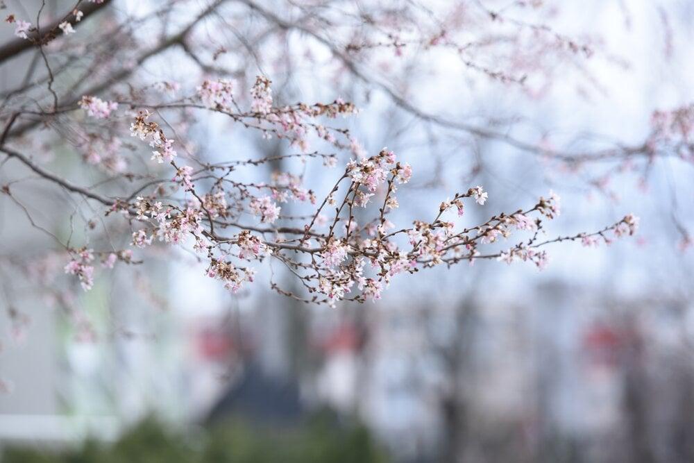 A cherry blossom tree began to bloom in Trnava.