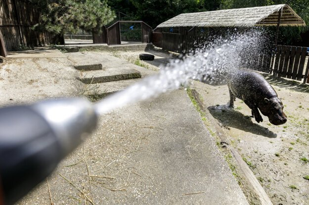 The Liberian hippopotamus gets refreshed under a stream of cold water during a hot summer day at the Bratislava Zoo on June 24, 2021.