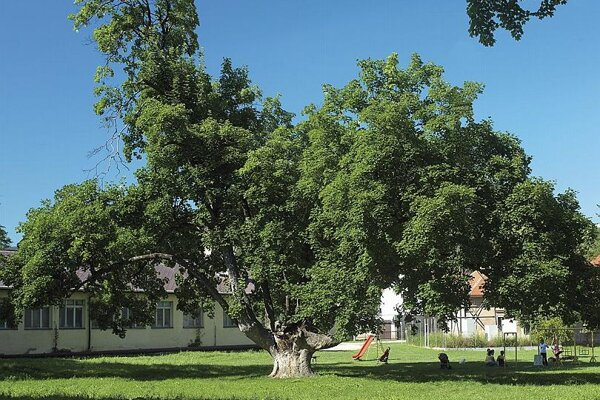 This 22-metre maple was awarded the title of Tree of the Year 2008.