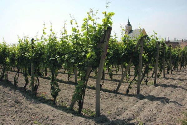 Slovak varieties are cultivated to suit the local terroir.