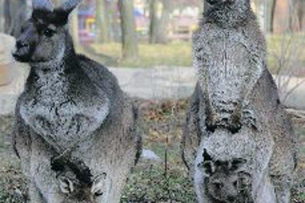 The kangaroo is a symbol of Australia.