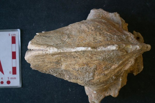 Skull of a hyena