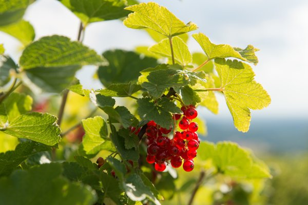 Red currants are used to make wine in Devín.
