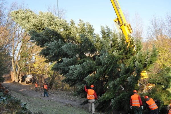 Cutting tree to be placed at the Grand Palace Square in Brussels.