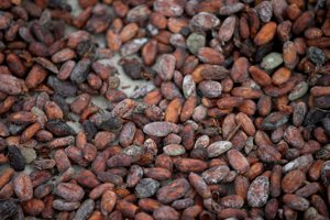 Cacao beans, illustrative stock photo