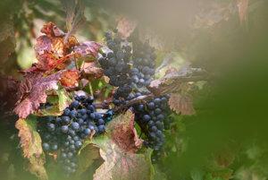 Grapes, illustrative stock photo