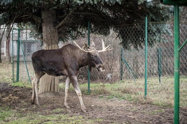 Elk Nik in the national agricultural centre Lužianky