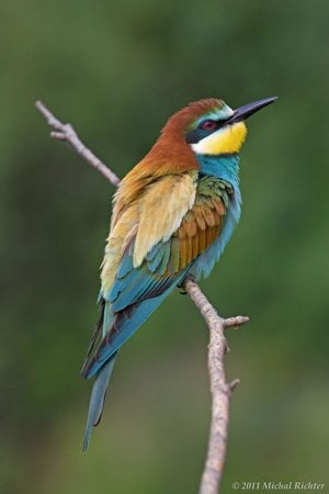 Bee-eater (Merops apiaster) is one of the most colourful birds living in nature in Slovakia.