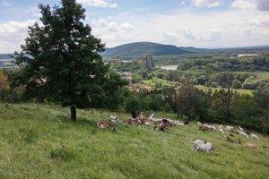 Resumed grazing on Devínska Kobyla