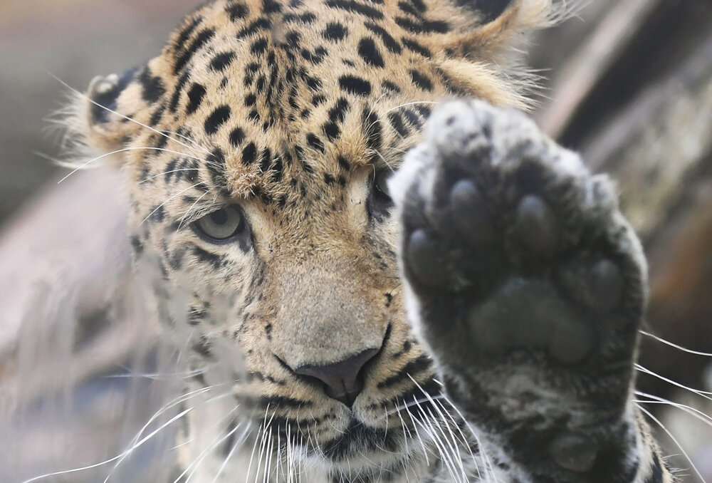 Chinese leopard, named Ju-Long, arrived to Košice ZOO.