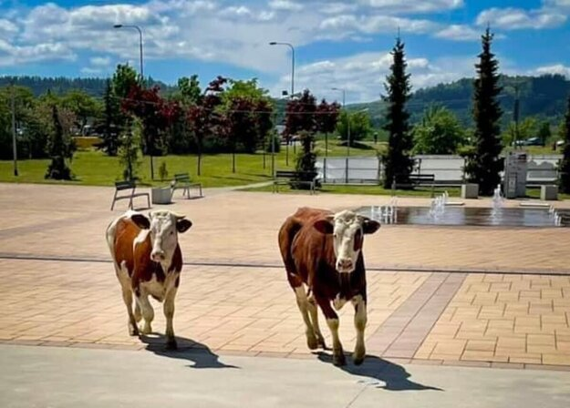 A herd of frightened cows promenading in the Poprad streets.