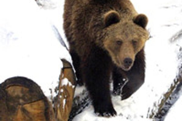 Nature experts estimate the number of bears in Slovakia at 800.