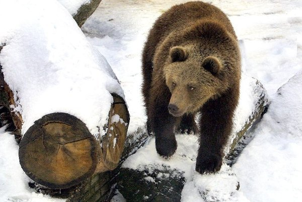 Still snowing: Bears sometimes wake early from their winter hibernation.