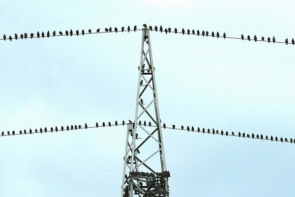Migratory birds gathering.
