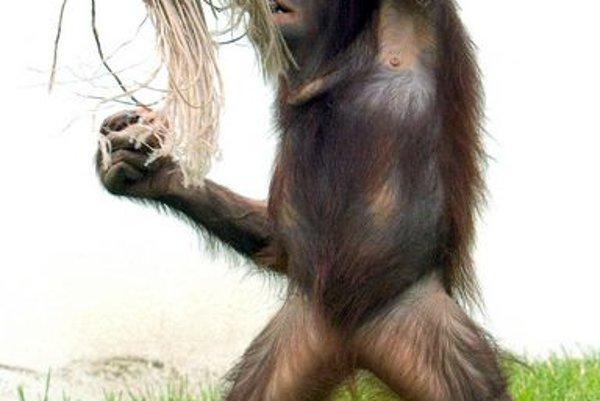 Bojnice's orangutans arenowonline
