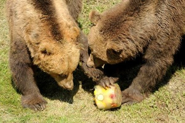 Bears fighting for ice-cream in Košice zoo