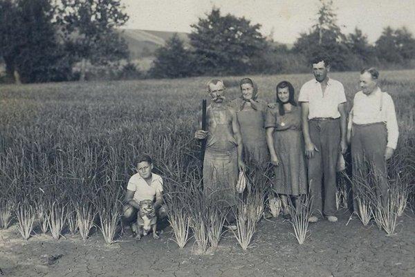 Rice fields in Mýtne Ludnany, 1952