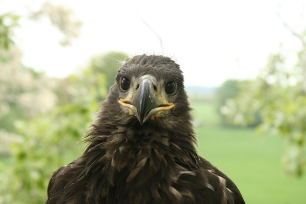 Just 15 to 20 pairs of the white-tailed eagle nest in Slovakia