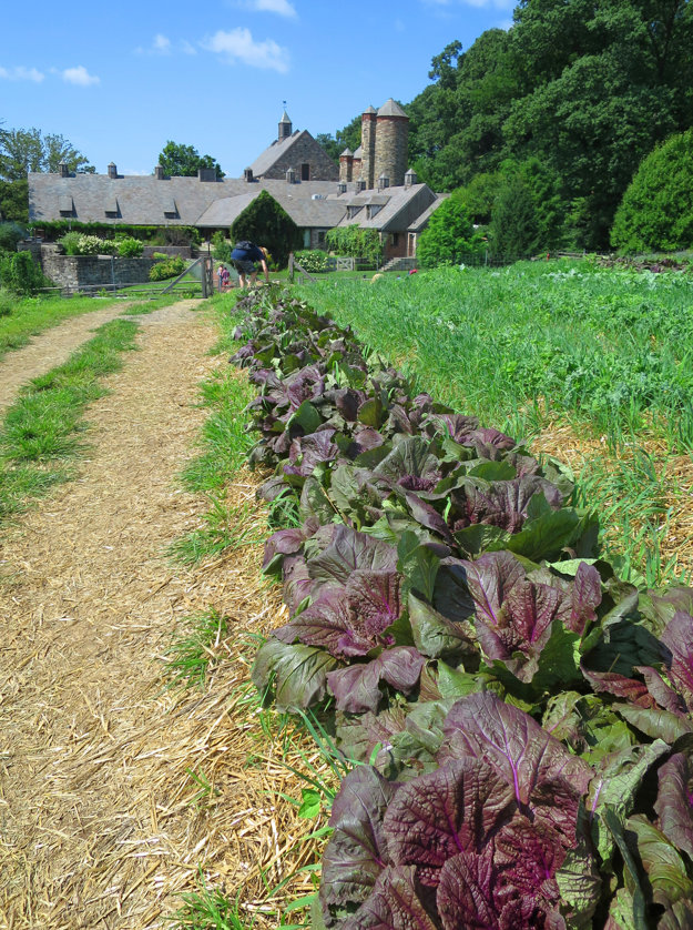 Cabbage Days, illustrative stock photo.