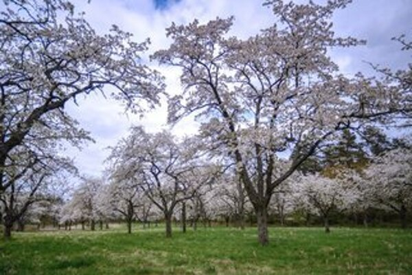 Cherry orchard in bloom, illustrative stock photo.