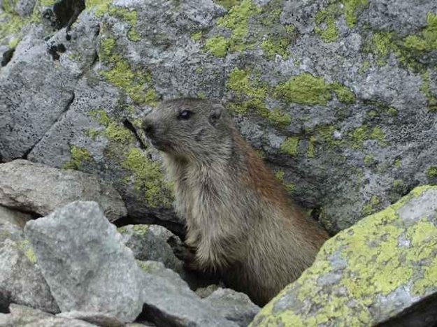 Marmot in Tatra National Park (TANAP)