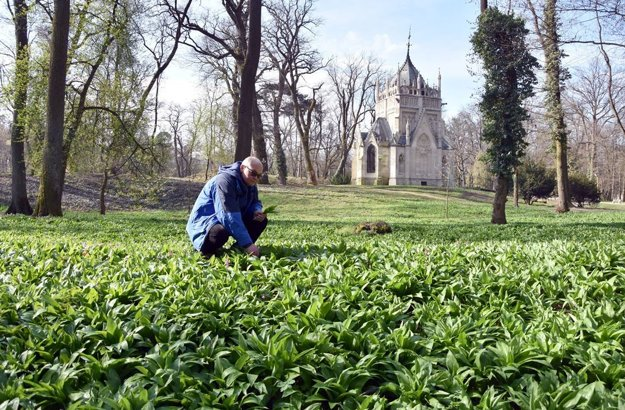 Popularity of wild garlic in Slovakia is increasing.