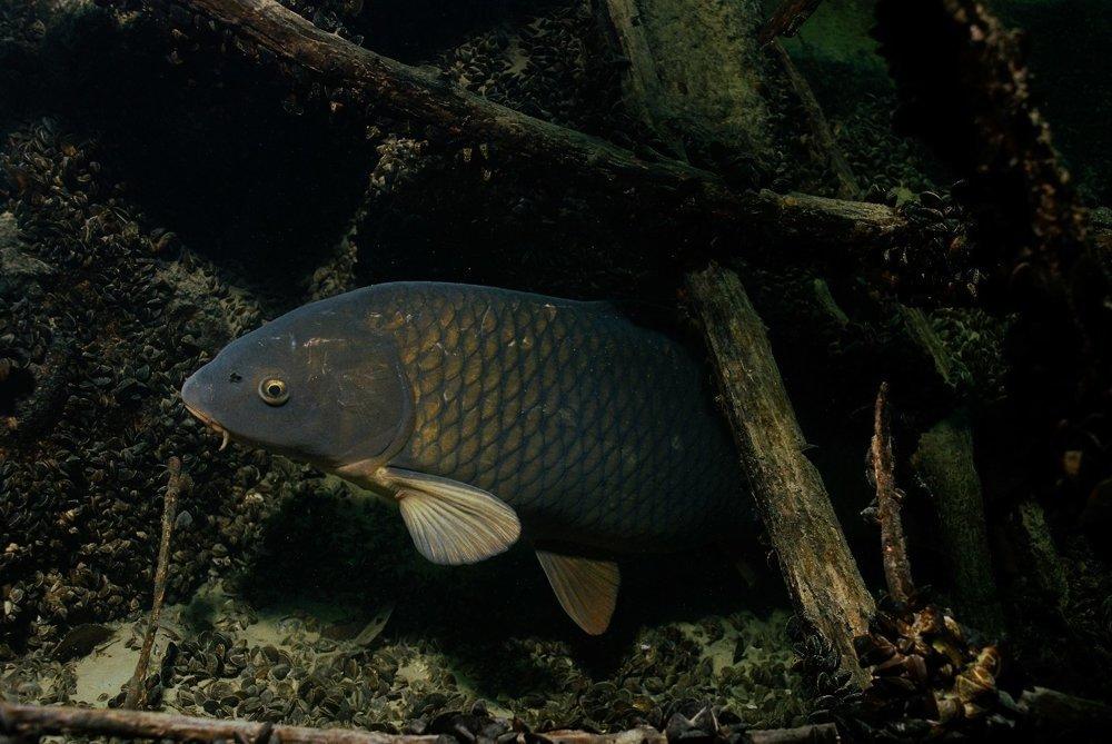 Sazan, a wild carp living in the Danube.