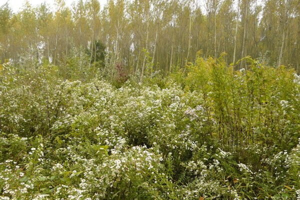 Giant goldenrod and New York aster invading alluvial forest.