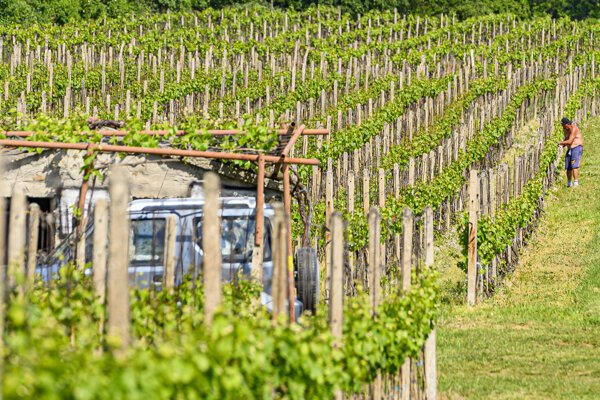 A winegrower works in a vineyard during sunny weather near Svätý Jur in the Bratislava Region on May 8, 2020.