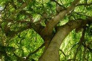 Bratislava's Old Town presents its most beautiful trees