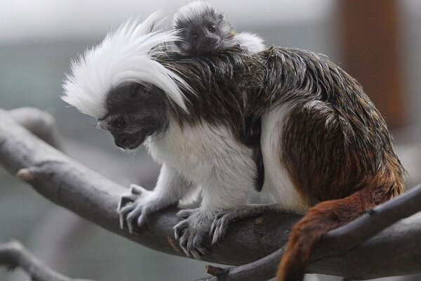 One of the newborn Cottontop Tamarins takes a ride on mom (or is it dad?) in the Košice zoo.