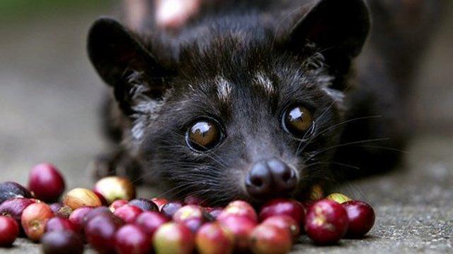 Najdrahšia káva je z trusu cibetky